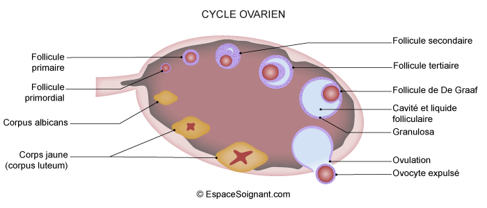 Cycle ovarien
