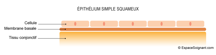 Epithélium simple squameux